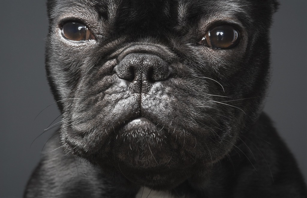 Animal Photography Dogs Gods Series Tim Flach Freddie Frenchie