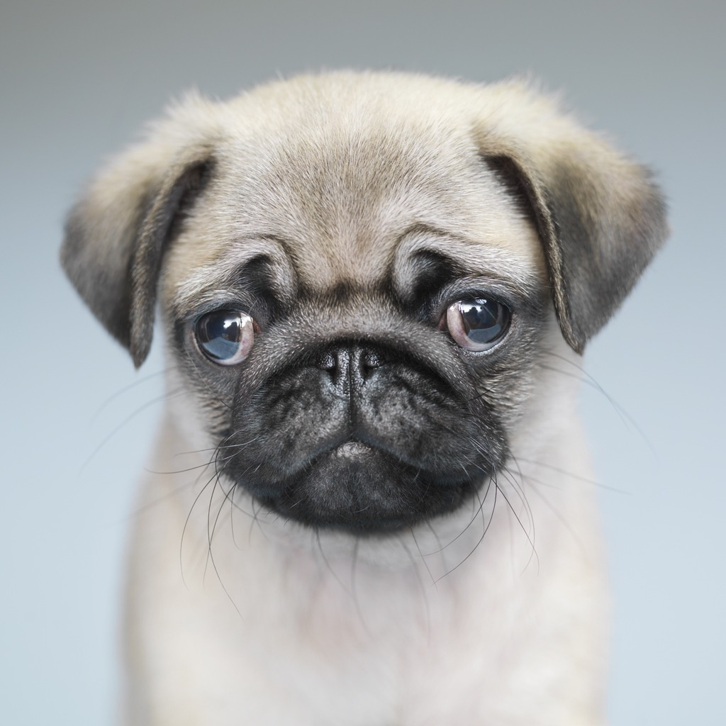 Pug Cute Portrait