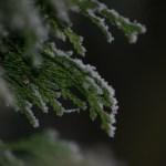 Snow on hedge