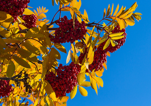 https://www.flickr.com/photos/dougbrown47/10088638905 Mountain Ash in Fall Display  (Explored) by Doug Brown
