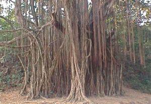 Banyan tree, Assagao