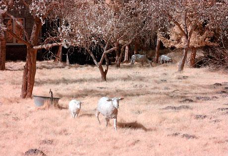 Schaf und Lamm (1.)
