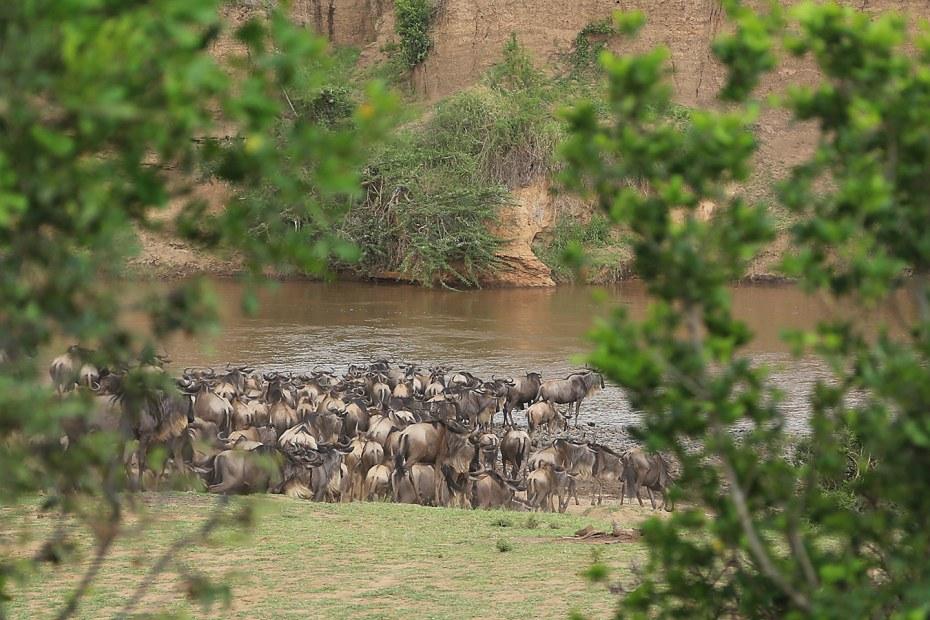 Gnus am Mara River