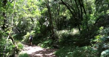 Im Lorbeerwald des Parque Nacional de Garajonay