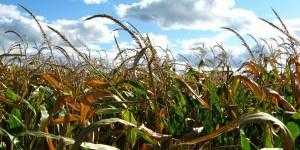 Dari 12 tanaman pangan budidaya, gandum, beras dan jagung berkontribusi sebesar 50% dari keseluruhan asupan energi global. Peter Blanchard/flickr