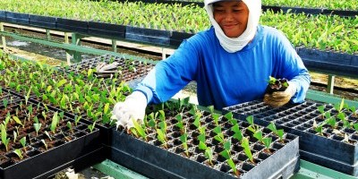 Rekayasa tanaman untuk memaksimalkan keluaran memungkinkan kita menyelamatkan hutan. Foto oleh Ryan Woo/CIFOR