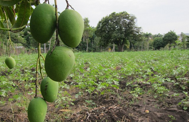 Mango trees could help solve food security issues in Bangladesh. Photo courtesy of cplbasilisk/flickr.