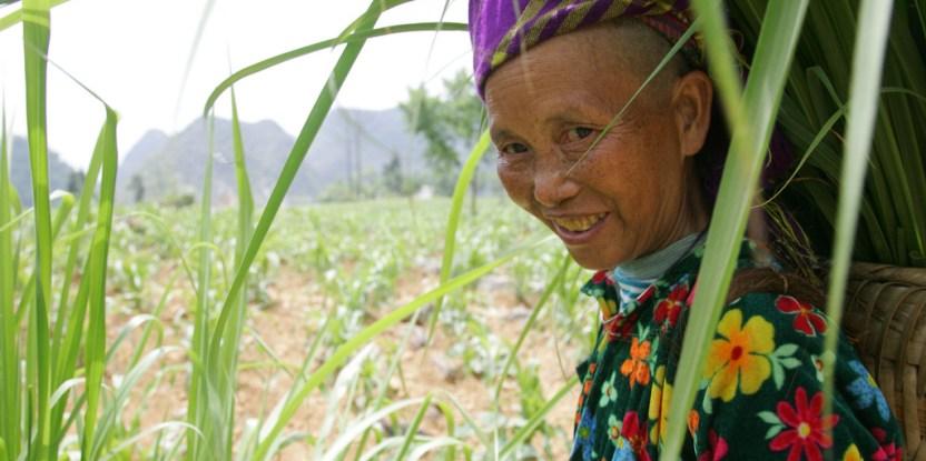 La agricultora viuda Va Thi Chua recolecta forraje para su ganado en su granja cerca al pueblo norteño de Meo. Foto: ILRI/Stevie Mann