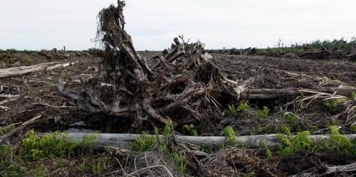 Setengah abad lalu, lebih dari tiga-perempat luas Indonesia diselimuti hutan hujan tropis lebat. Namun, ketergesaan untuk memasok komoditas dunia, kini setengah dari pepohonan itu telah ditebang. Dita Alangkara/ CIFOR.