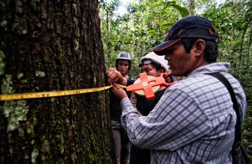 Cara Rockwell, Hideki Kohagura Arrunatogui and Eriks Arroyo Quispe toman las medidas de un árbol de castana. Marco Simola/ CIFOR