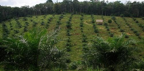 Perkebunan kelapa sawit. Jambi - Indonesia, 2011.  ©Center For International Forestry Research/Iddy Farmer
