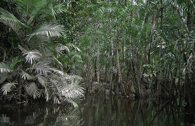 Peru's tropical forests hold large amounts of carbon — but in such peatlands as this one, twice as much carbon could be stored in the flooded soil as in the trees above.