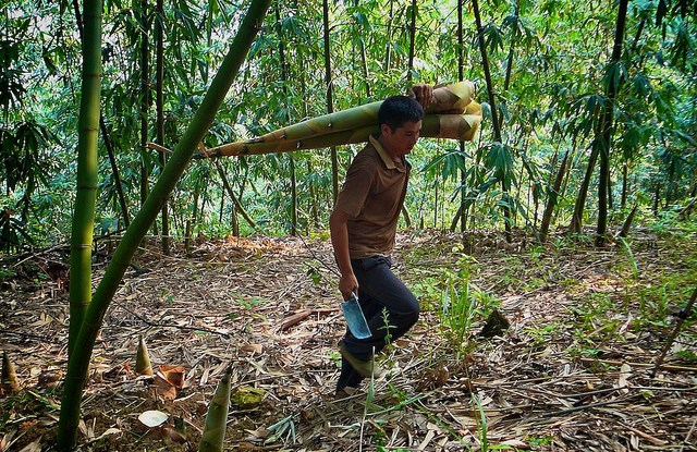 Harvesting bamboo shoots in China. Nick Hogarth/CIFOR