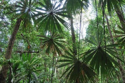 Parque Nacional Berbak, Jambi, Sumatra, Indonesia. El Fondo Verde para el Clima se ha vuelto cada vez más importante para el establecimiento de prioridades de financiamiento para los sectores de uso de la tierra y forestales. James Maiden / Fotografía de CIFOR.
