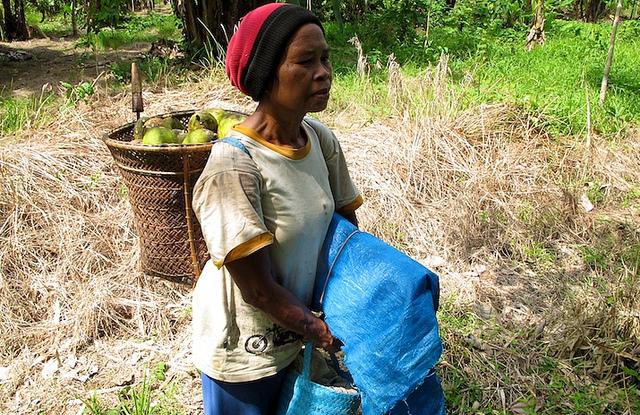 Seorang wanita mengambil buah di hutan di Kalimantan Tengah, Indonesia. Foto: CIFOR.