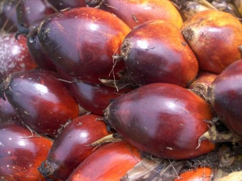 Libra por libra, los frutos de la palma aceitera (Elaeis guineensis) de Indonesia producen más aceite que cualquier otro cultivo conocido. Hari Priyadi/Foto CIFOR