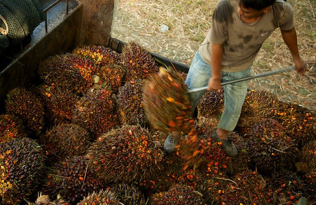 A worker loading oil palm fruit off a truck in Sabah, Malaysia.   Photo by M. Edliadi for the Center for International Forestry Research (CIFOR).