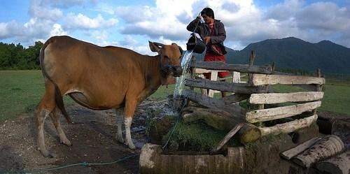 Peternakan di hutan di sekitar taman nasional Bali Barat. Pertanian cerdas-iklim dan kehutanan sama-sama penting untuk meningkatkan penghidupan, memperkuat ketahanan dan mengurangi emisi. Aulia Erlangga/Foto CIFOR