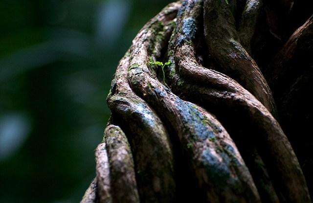 Sulur anggur di hutan tropis dekat Porto Velho, Rondonia, Brasil. Spesies invasif di wilayah tropis dapat menimbulkan dampak merusak hutan. Kate Evans/Foto CIFOR