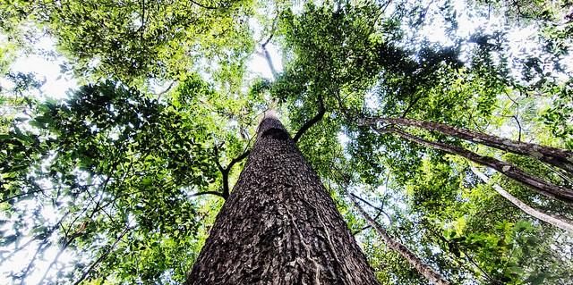 Gigante árbol de Castaña en Puerto Maldonado, Madre de Dios, Peru. La recolección de castaña constituye un importante medio de subsistencia para las comunidades de la Amazonía. Foto Marco Simola/CIFOR