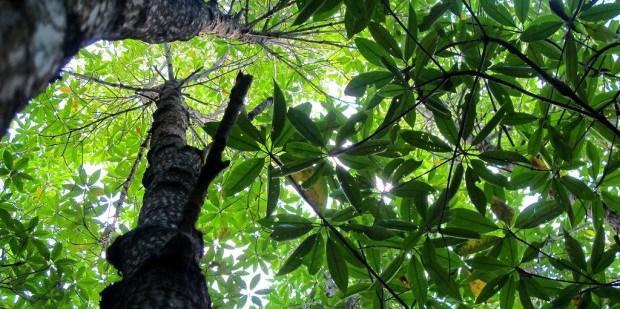 mangrove-canopy