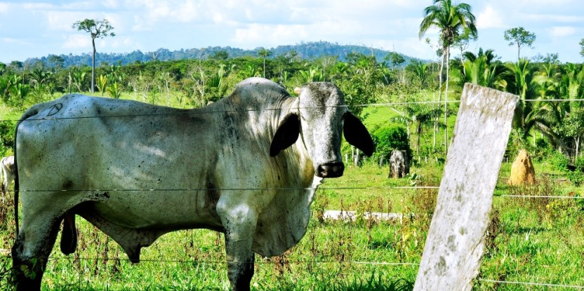 Brazilian government policies tackling deforestation (most often caused by farming and cattle ranching) are being undermined by lack of coordination and communication, says a new CIFOR study. CIFOR
