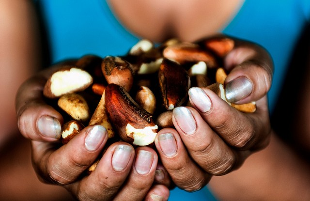 Could Brazil nuts and selective logging be compatible? CIFOR.