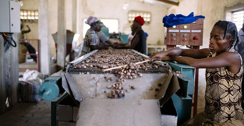 Les noix de karité sont résoltées de mi-juin à la mi-septembre. Après été extraites de leurs gousses, elles sont lavées puis séchées.  Ollivier Girard/CIFOR