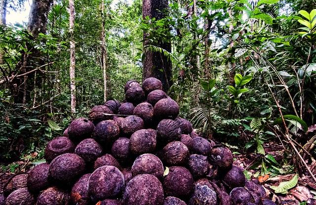 Des noix du Brésil prêtes à être extraites de leurs fruits. Marco Simola/CIFOR