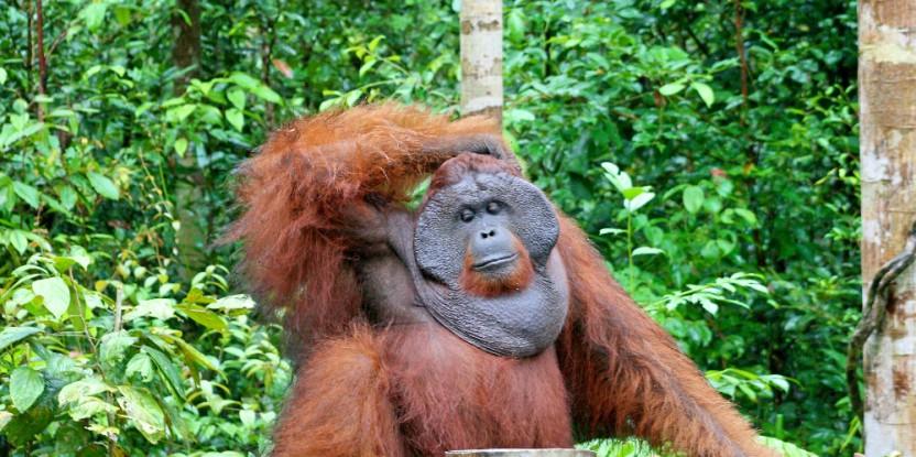 Un problème qui concerne tout le monde : à Bornéo, les conflits entre humains et orangs-outans se produisent dans les zones forestières éloignées tout comme les zones plus peuplées. Terry Sunderland/CIFOR