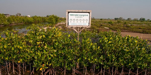 Nurseri bibit mangrove di cagar alam Pulau Dua, Banten. Studi terbaru di Vietnam menunjukkan restorasi mangrove berperan besar dalam mengurangi emisi.