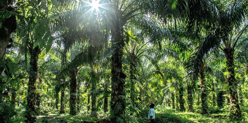 Aunque Brasil produce sólo una fracción del total mundial, ofrece importantes lecciones para otros países que se esfuerzan por mantener el aceite de palma sostenible.