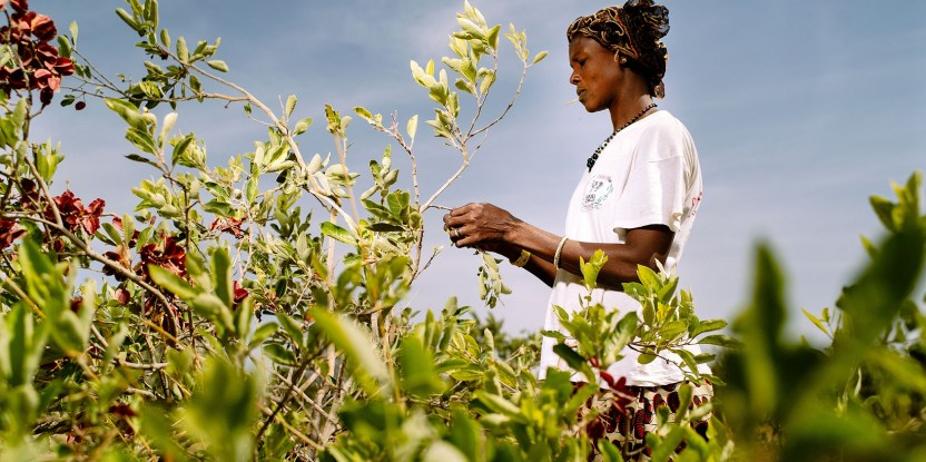 Reforestation means food security: a woman collects cobat fruit in Burkina Faso.  Ollivier Girard / CIFOR.