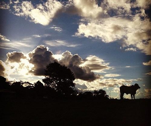 Peternakan sapi merupakan salah satu penyebab deforestasi hutan di Amazon Brasil.