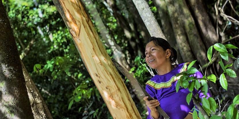 Doña Melsy Mori Guimaraes recolectando cortezas del arbol