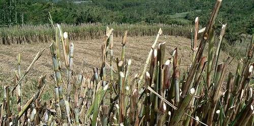 Perkebunan tebu di Jawa Timur. Tebu merupakan satu dari empat komoditas utama ketahanan pangan nasional.