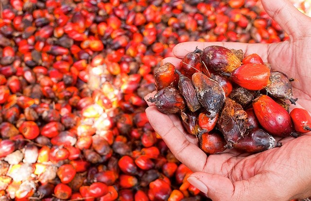Harvesting oil palm fruits in Indonesia. Moses Ceaser CIFOR