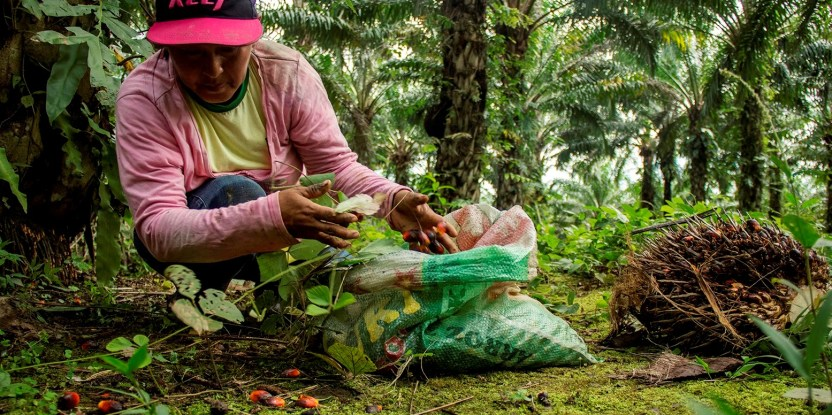 Las normas para guiar la producción sostenible de palma a menudo reflejan la perspectiva de los productores a gran escala, y no la de los pequeños agricultores.