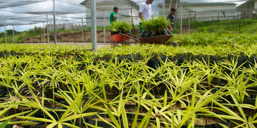 A state government initiative to assist in reforestation is supporting this acai nursery in Acre, Brazil.