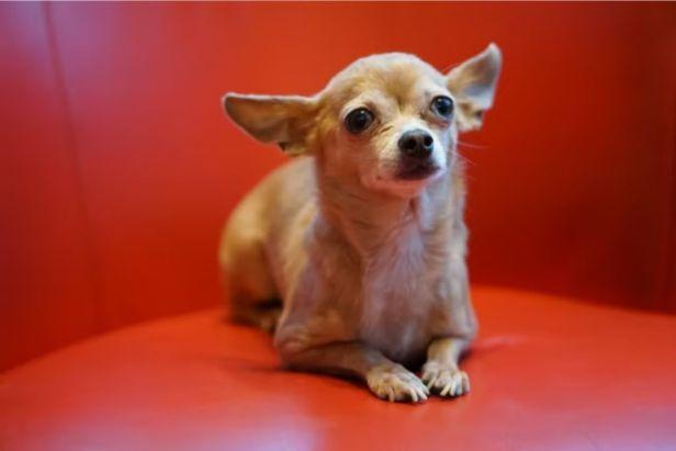 perro chihuahua - claro shop