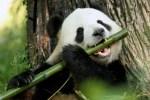 5 curiosidades sobre los pandas que te sacarán más de una sonrisa