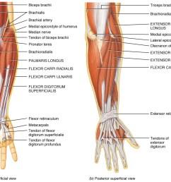 muscolatura gomito [ 1069 x 831 Pixel ]
