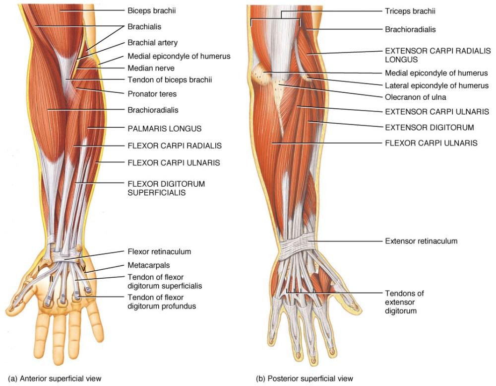 medium resolution of muscolatura gomito