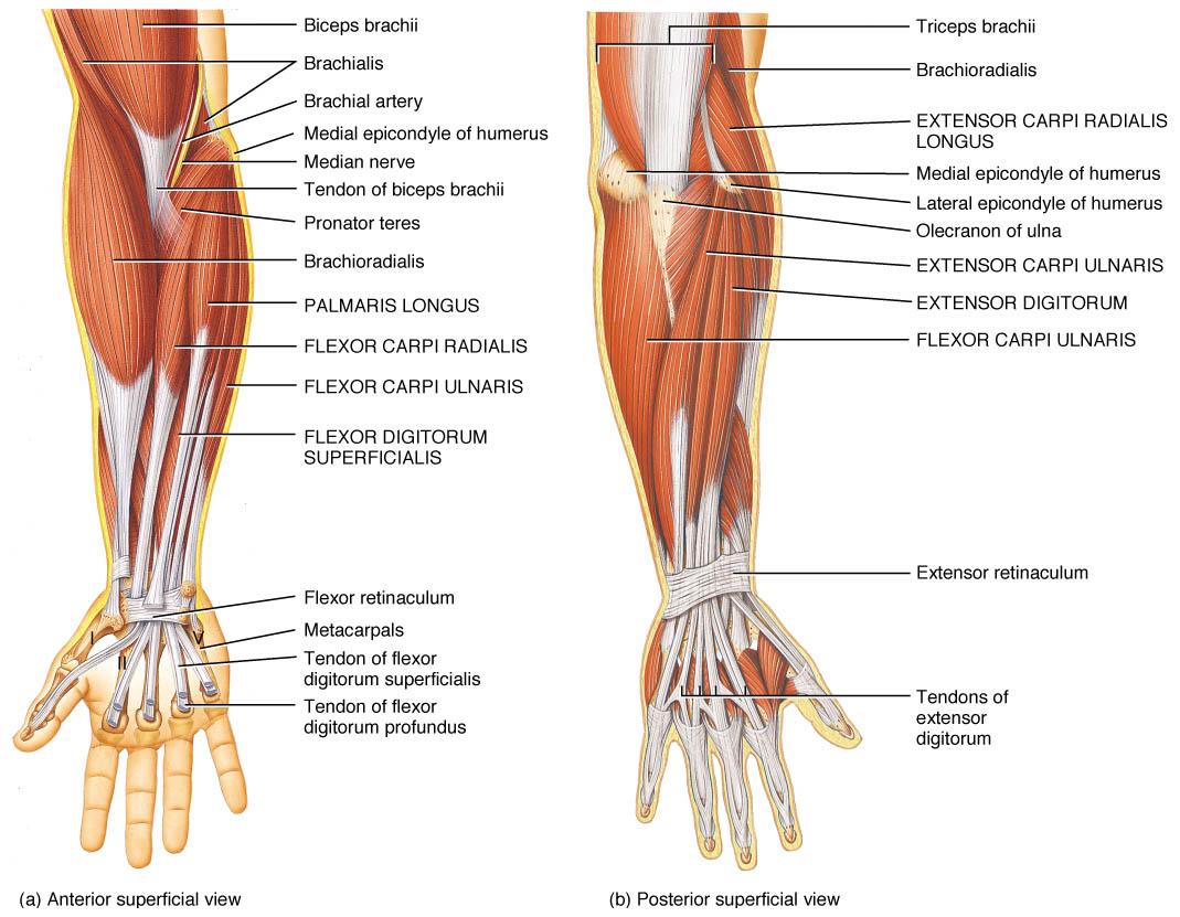 hight resolution of muscolatura gomito