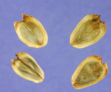 ecco i semini a forma di cuore!