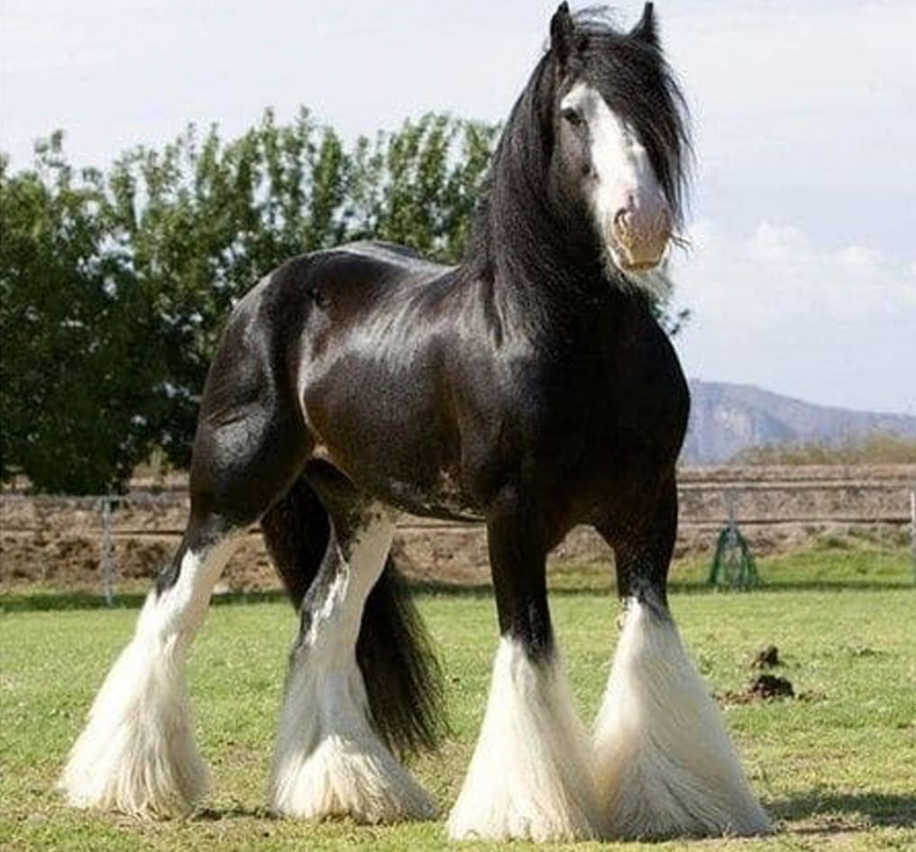 The Shire Horse