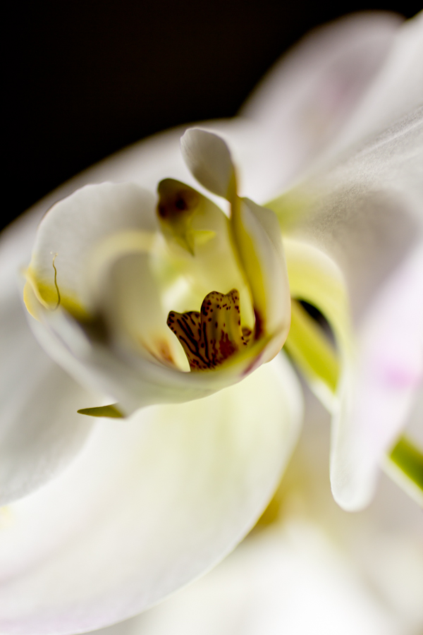 Orchid Heart