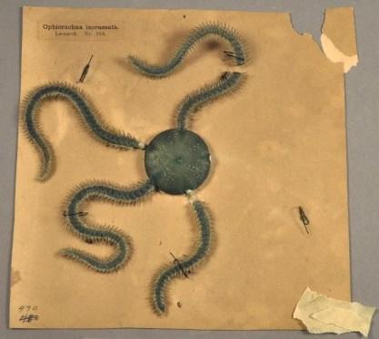 Before treatment of Ophiorachna incrassata (Nr. 258)