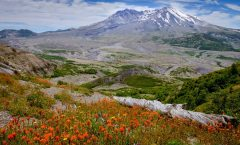 Mt St Helen's Wildflowers