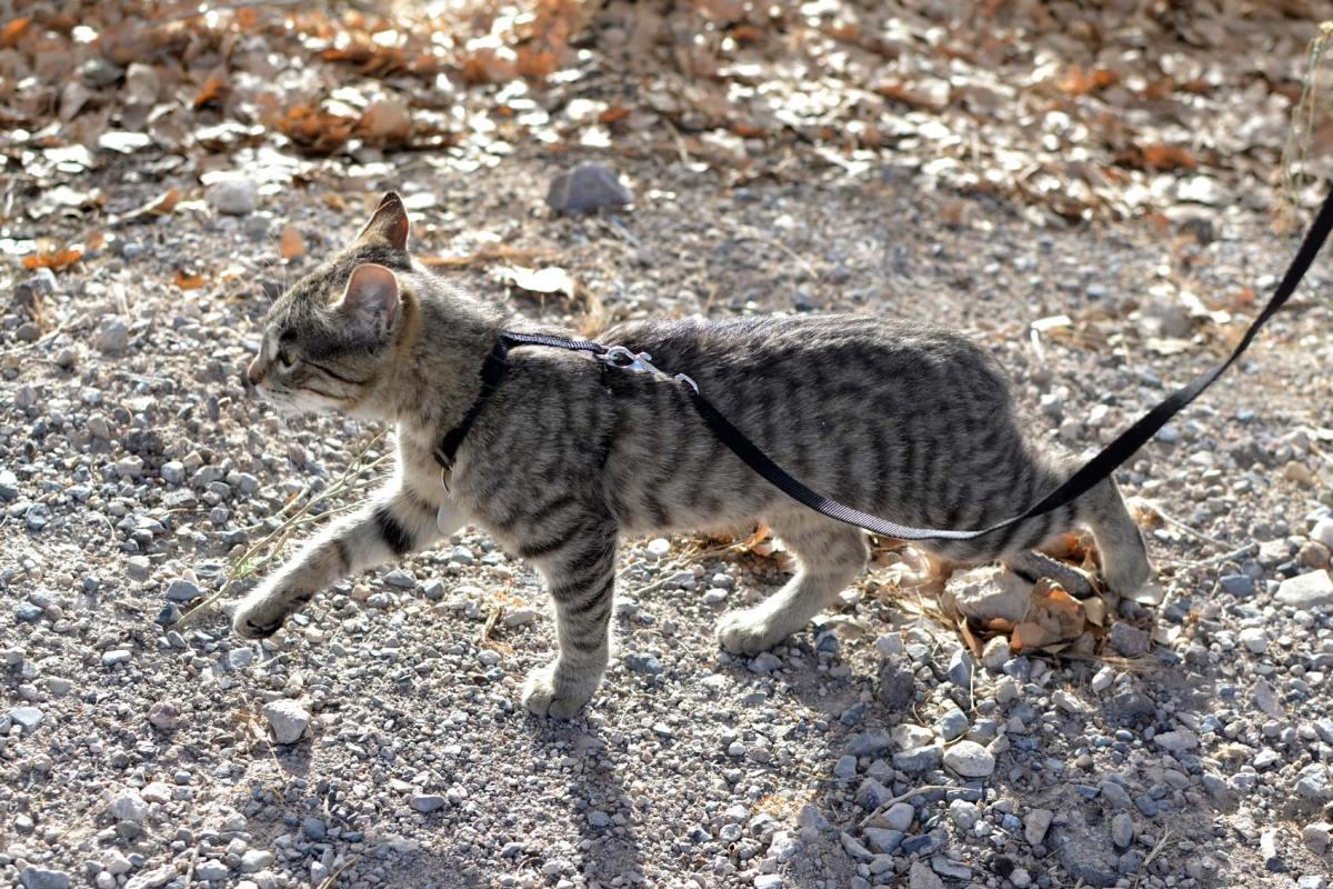 cat hiking on a leash